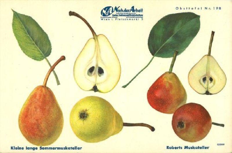 Birnbaum Muskatellerbirne
