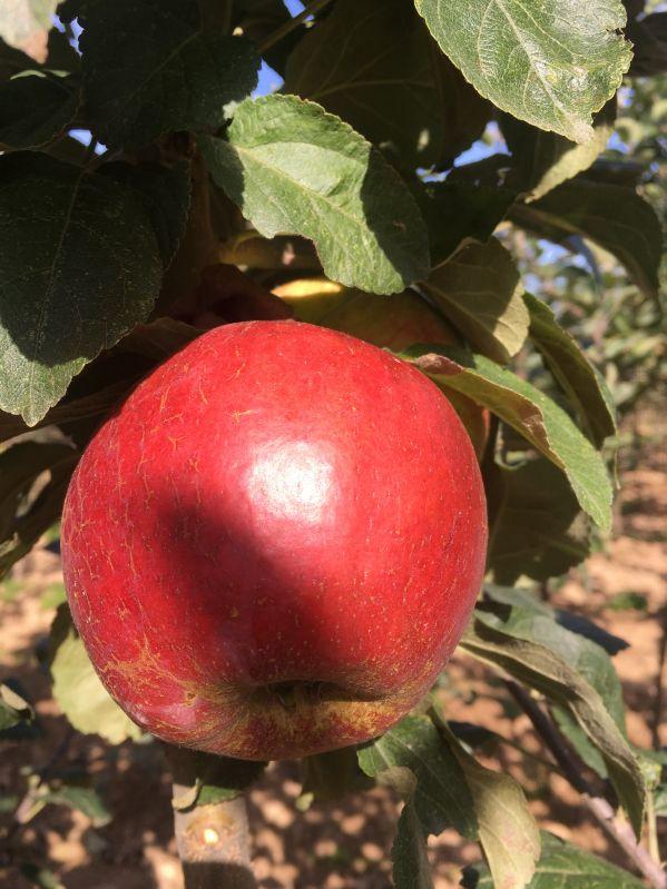 Apfelbaum Kardinal Bea