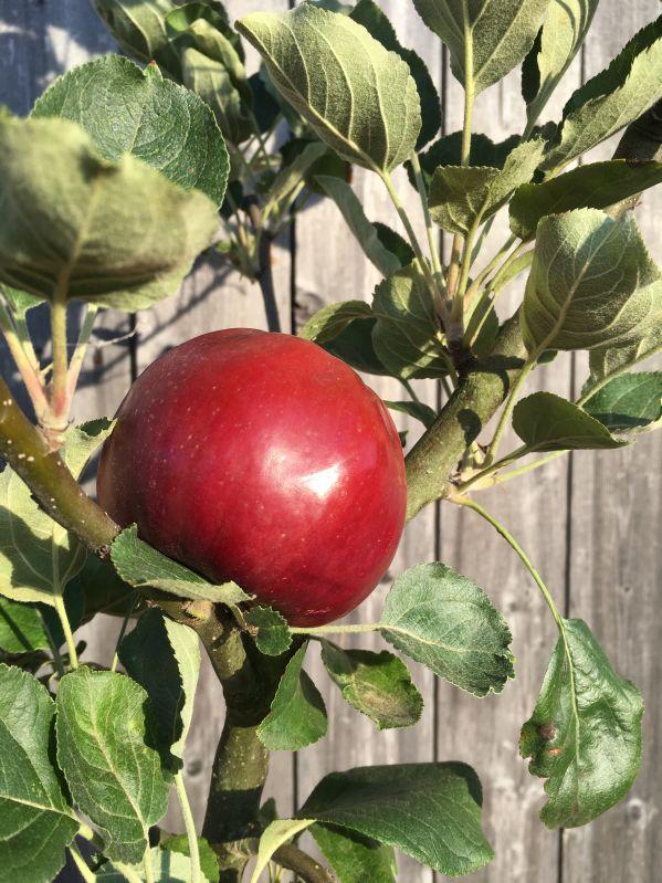 Apfelbaum Roter Herbstkalvill