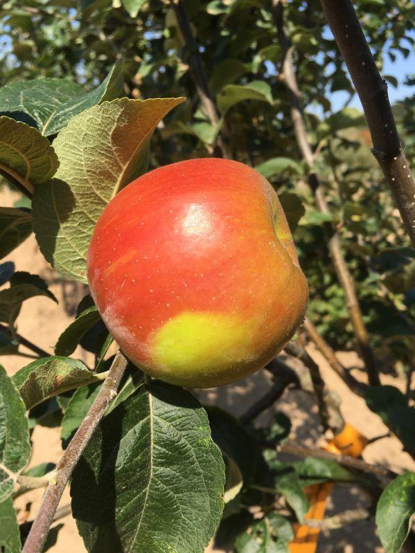 Apfelbaum Französische Goldrenette