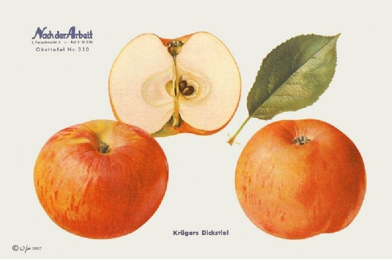 Apfelbaum Krügers Dickstiel