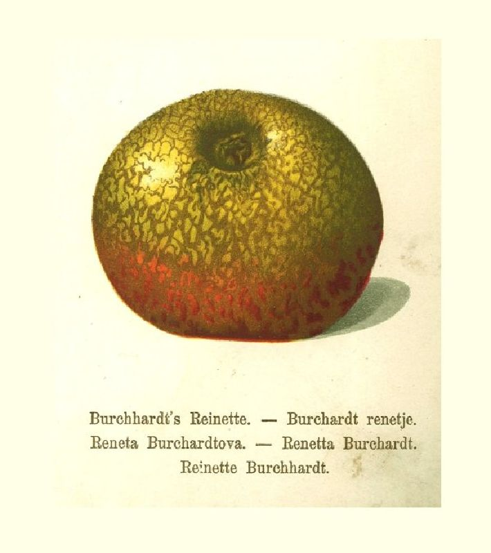Apfelbaum Burchardts Netzrenette