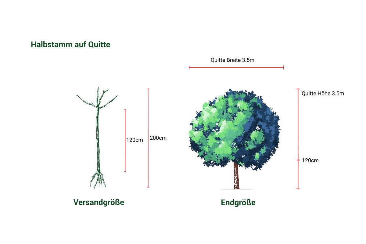 Birnbaum als Wunschbaum