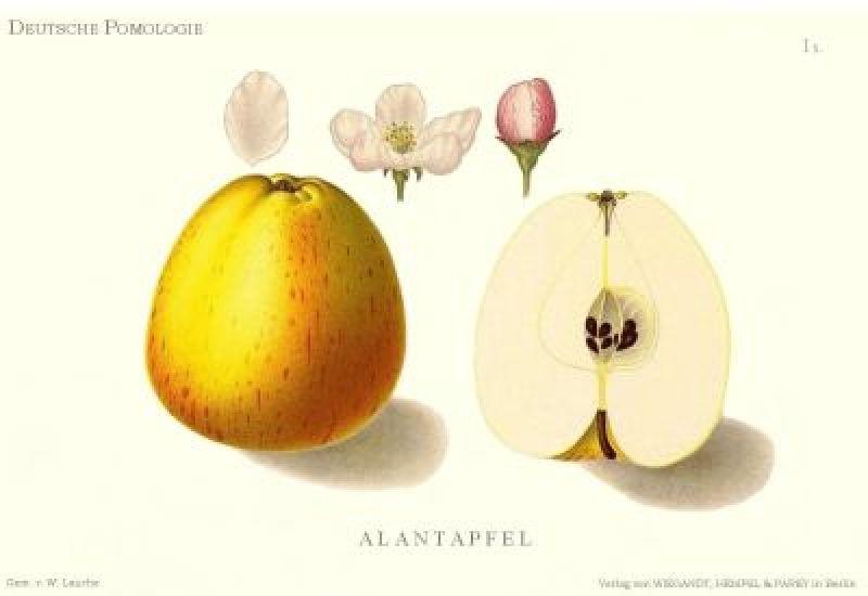 Apfelbaum Princesse Noble