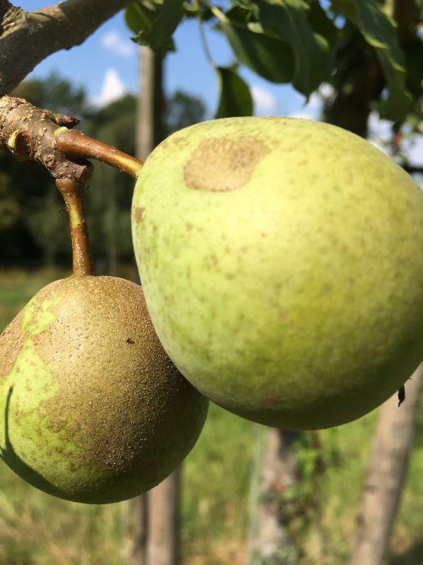 Birnbaum Kaiserbirne mit dem Eichblatt