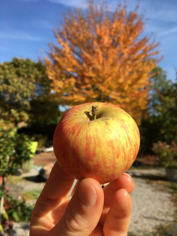 Apfelbaum Alkmene