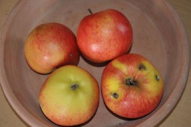 Apfelbaum Reglindis