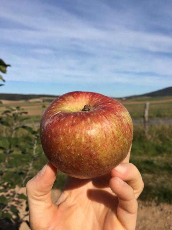 Apfelbaum Altländer Pfannkuchenapfel