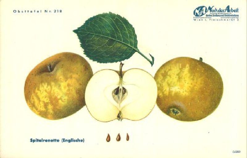 Apfelbaum Englische Spitalrenette