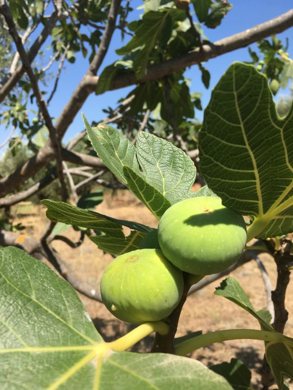 Frucht Feige