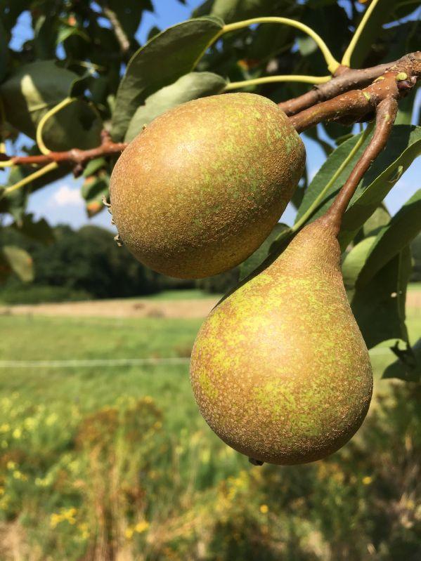 Birnbaum Gute Graue