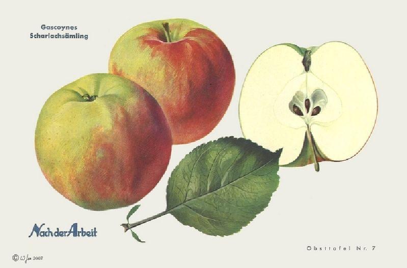 Apfelbaum Gascoyne´s Scharlachroter