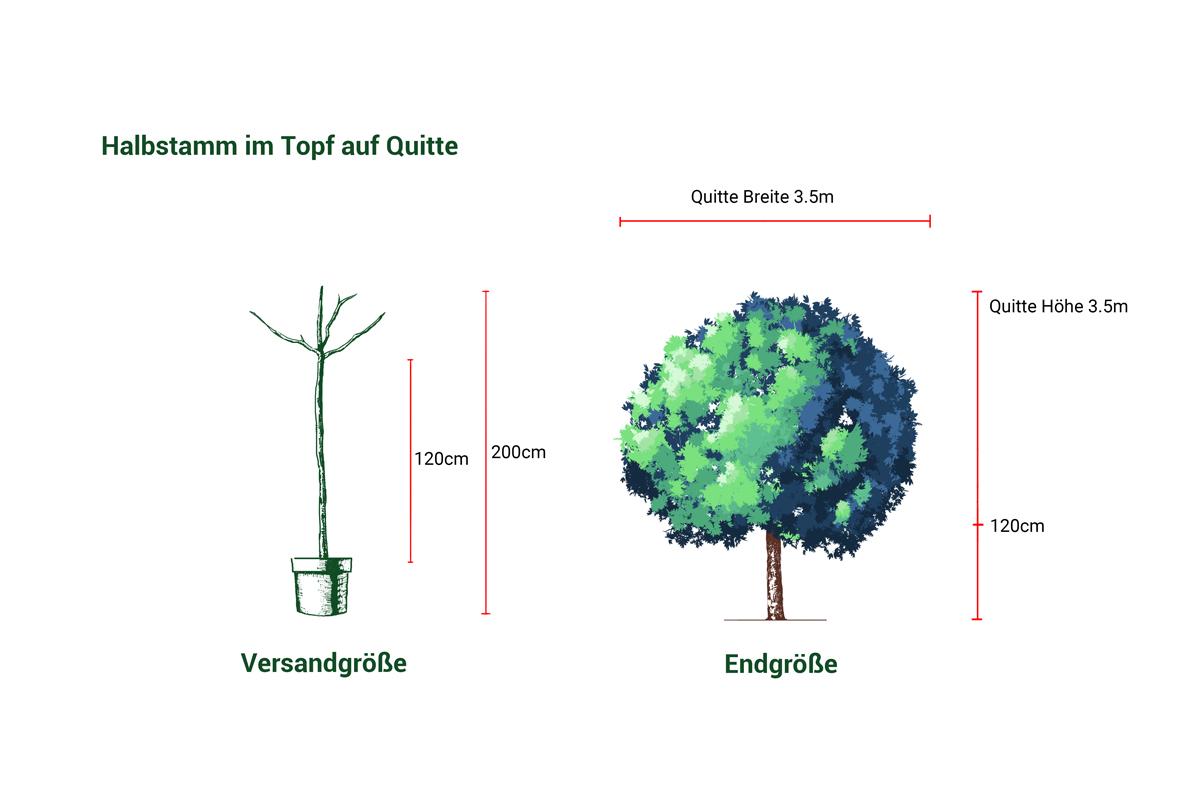 Birnbaum Stuttgarter Geißhirtle