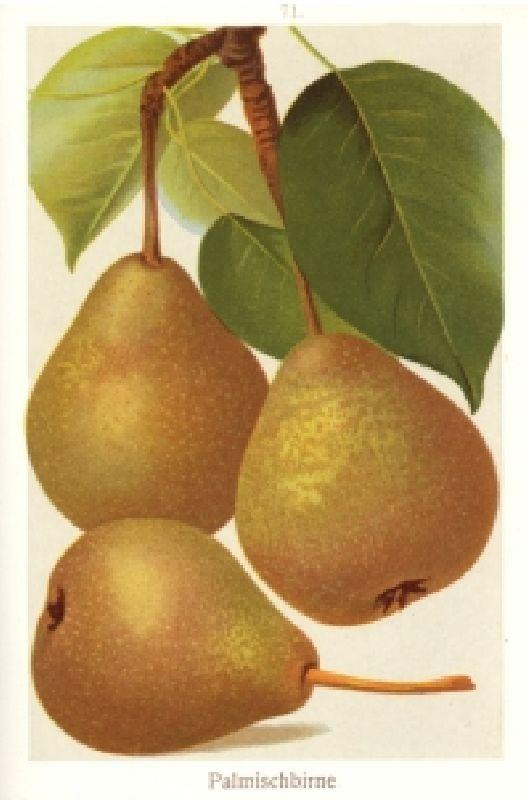 Birnbaum Palmischbirne
