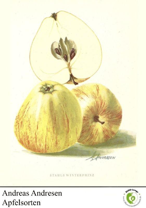 Apfelbaum Stahls Winterprinz