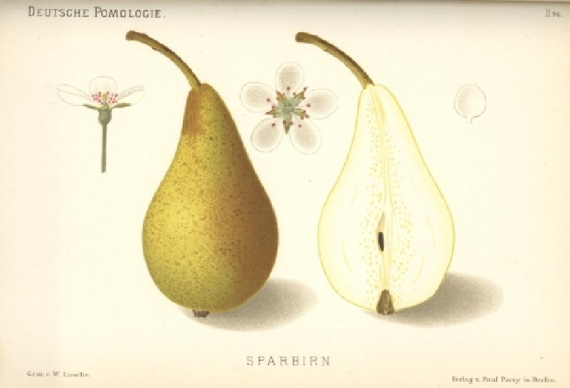 Birnbaum Sparbirne