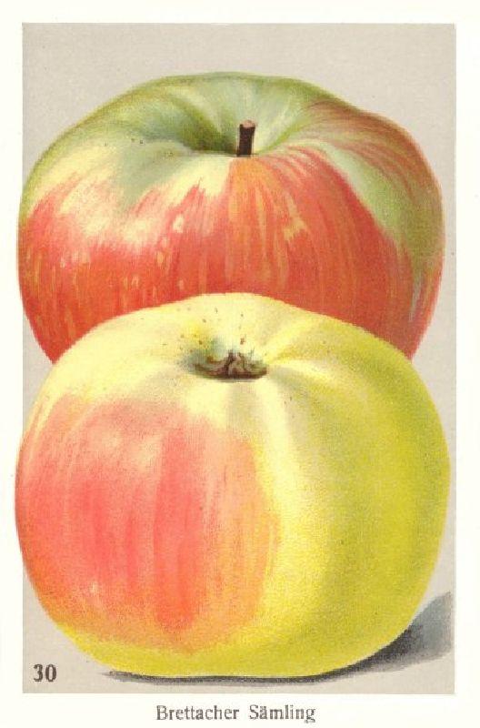 Apfelbaum Brettacher