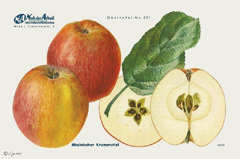 Apfelbaum Rheinischer Krummstiel