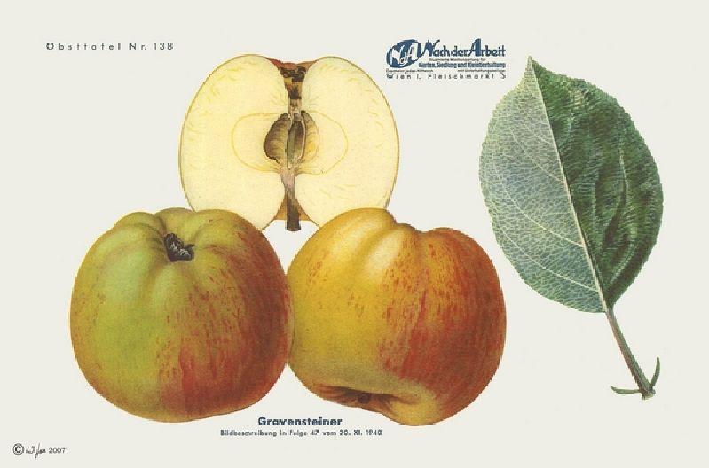 Apfelbaum Alter Gravensteiner
