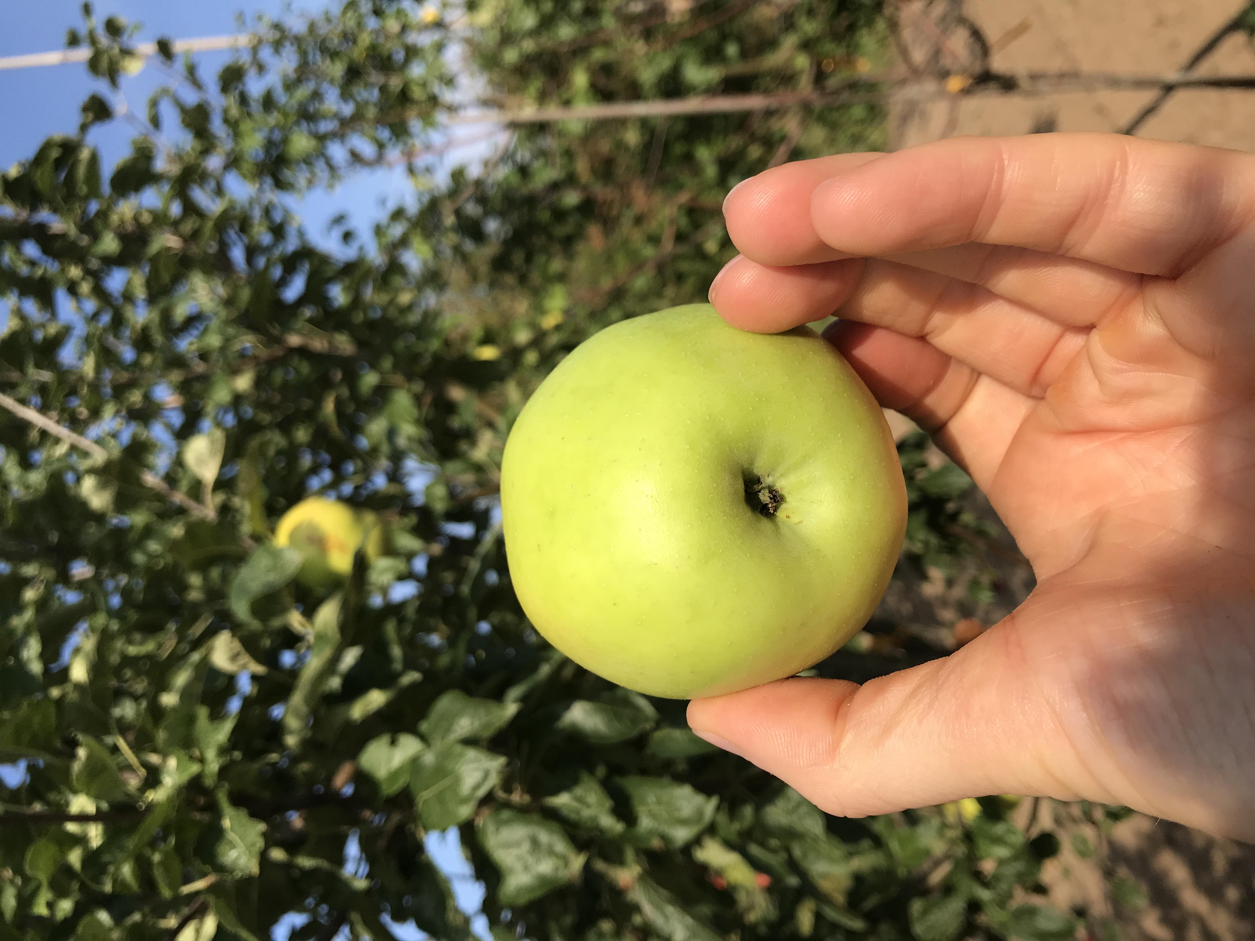 Apfelbaum Vaterapfel