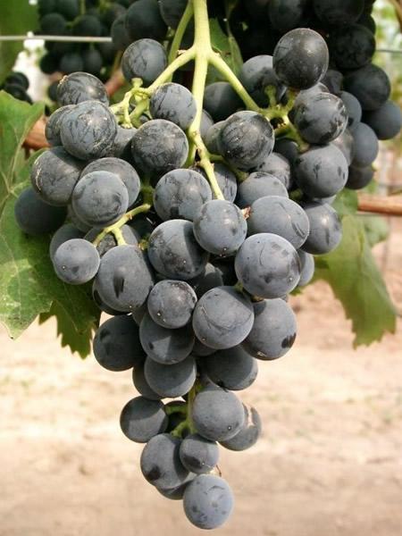 Weintraube Muskat bleu