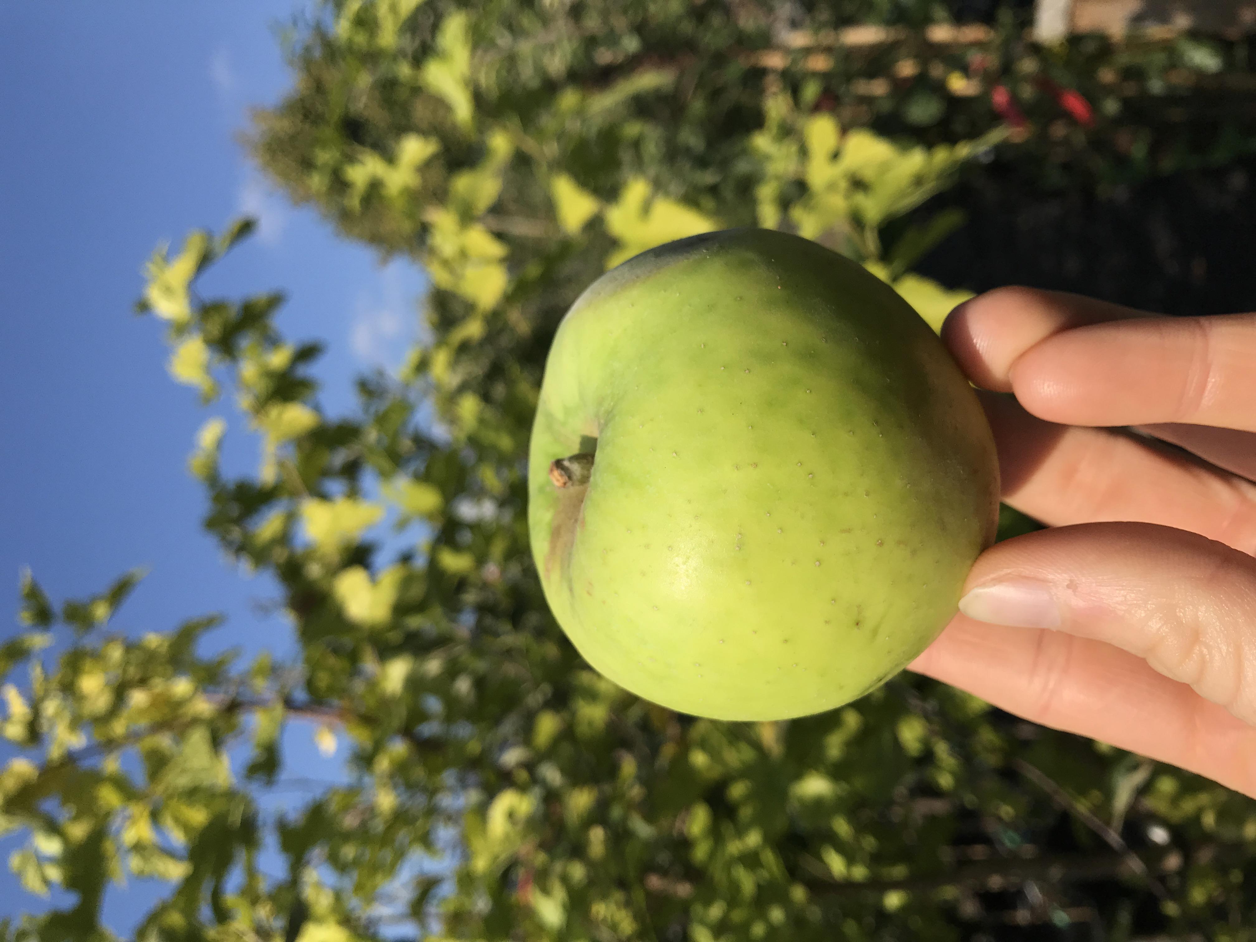 Apfelbaum Falstaff