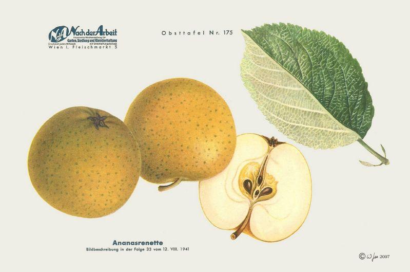 Apfelbaum  Ananasrenette