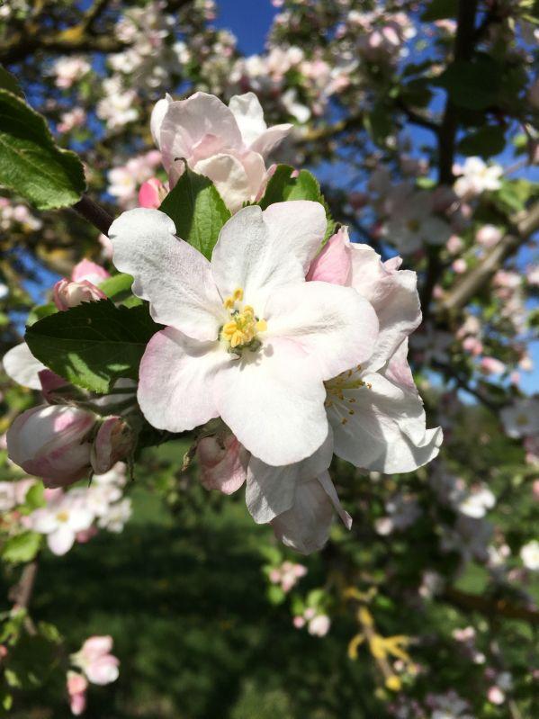 Apfelbaum Dülmener Herbstrosenapfel