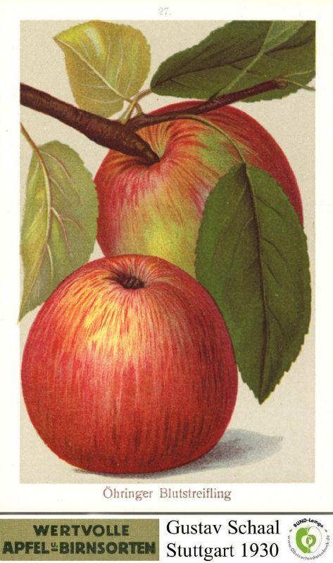 Apfelbaum Öhringer Blutstreifling