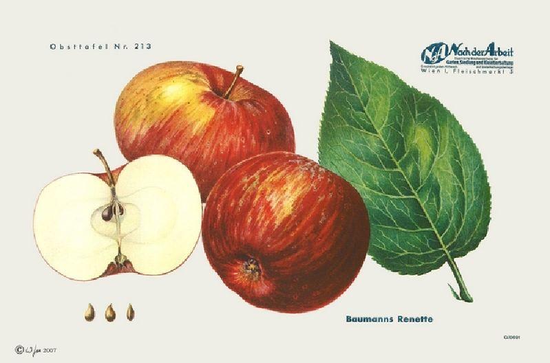 Apfelbaum Baumanns Renette