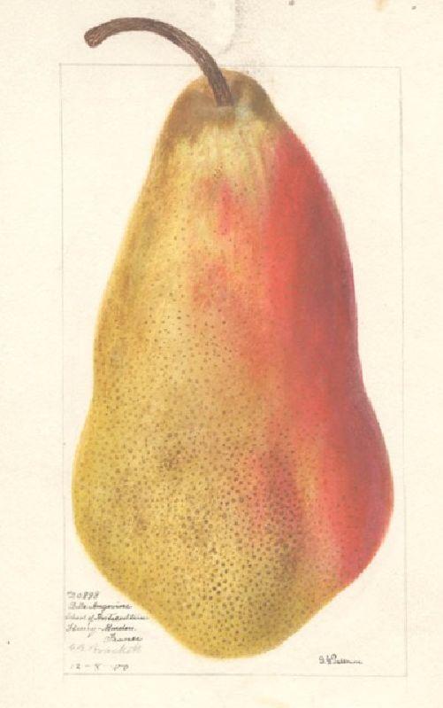 Birnbaum Belle Angevin