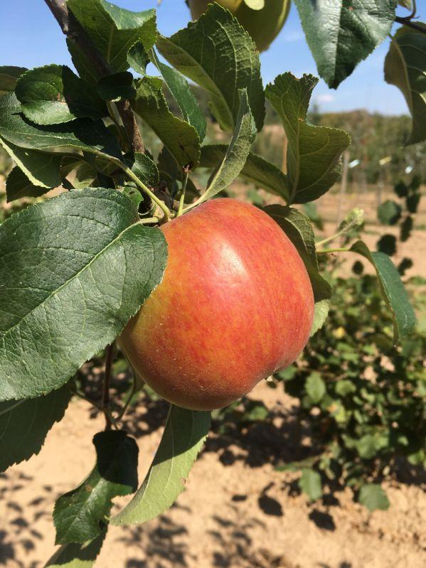 Apfelbaum Mutterapfel