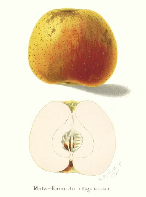 Apfelbaum Metzrenette