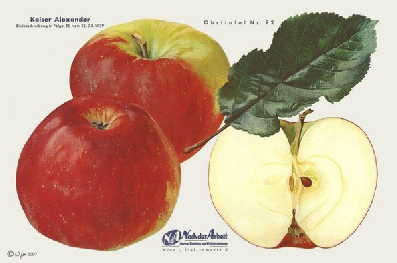 Apfelbaum Kaiser Alexander