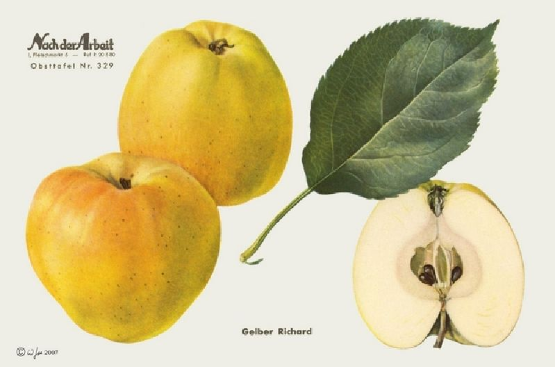 Apfelbaum Gelber Richard