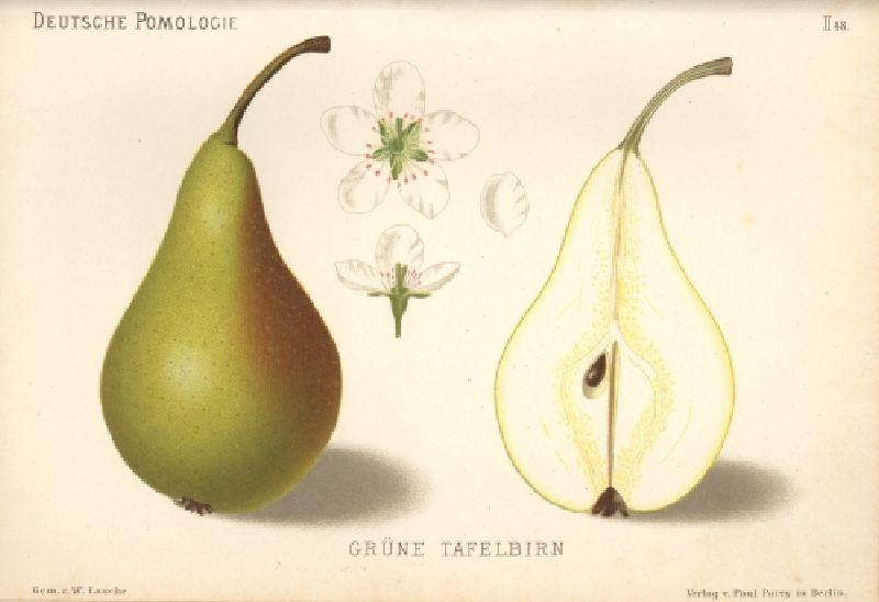 Birnbaum Grüne Tafelbirne