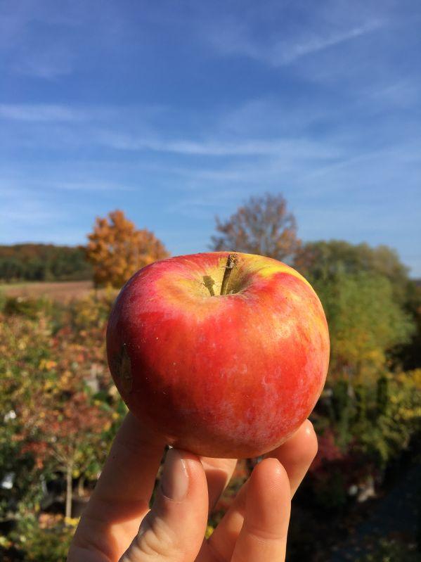 Apfelbaum Carola / Kalco
