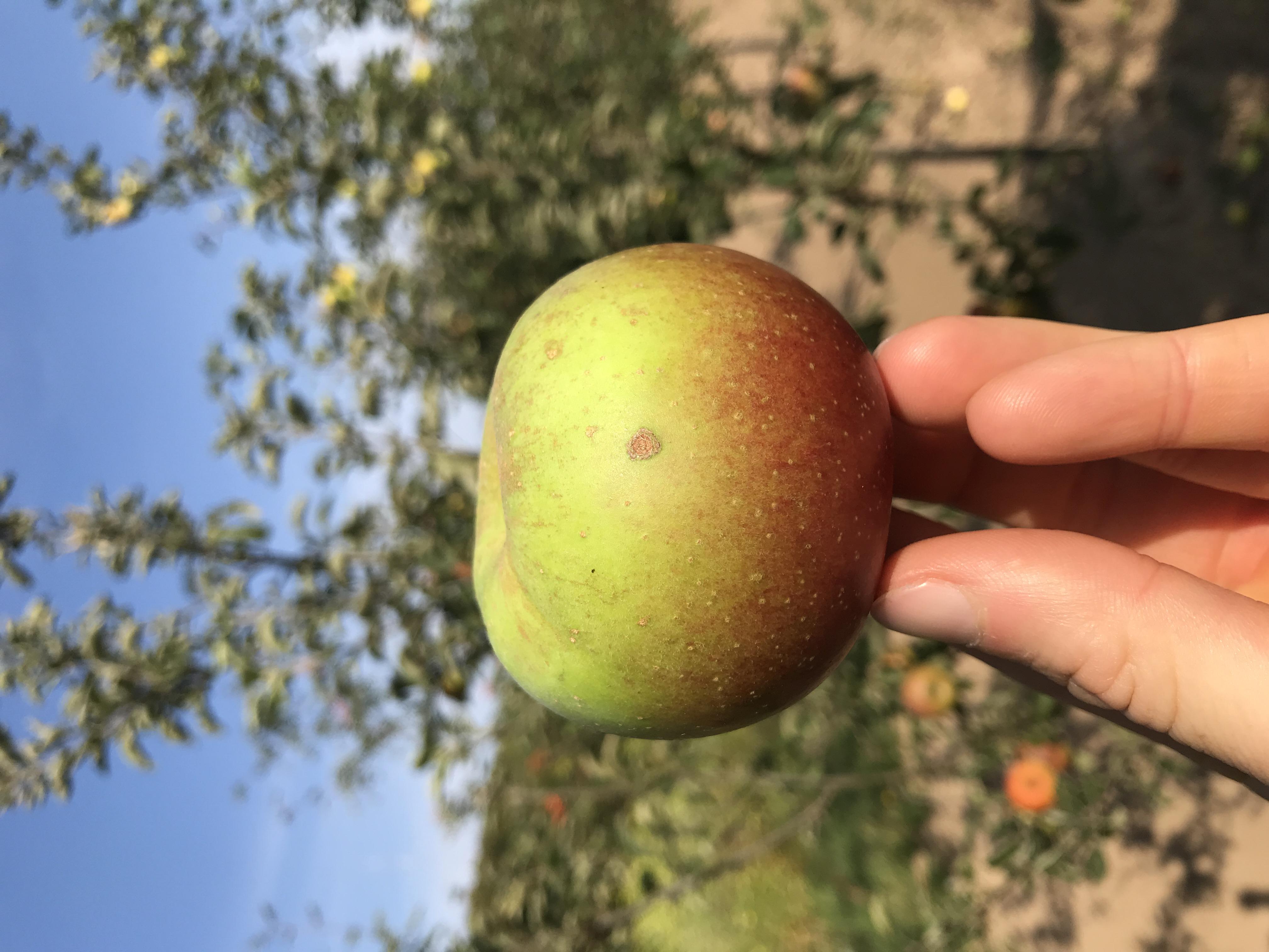 Apfelbaum Königlicher Kurzstiel