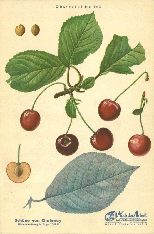 Süßkirsche Schöne von Chatenay