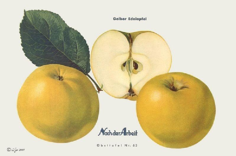 Apfelbaum Gelber Edelapfel