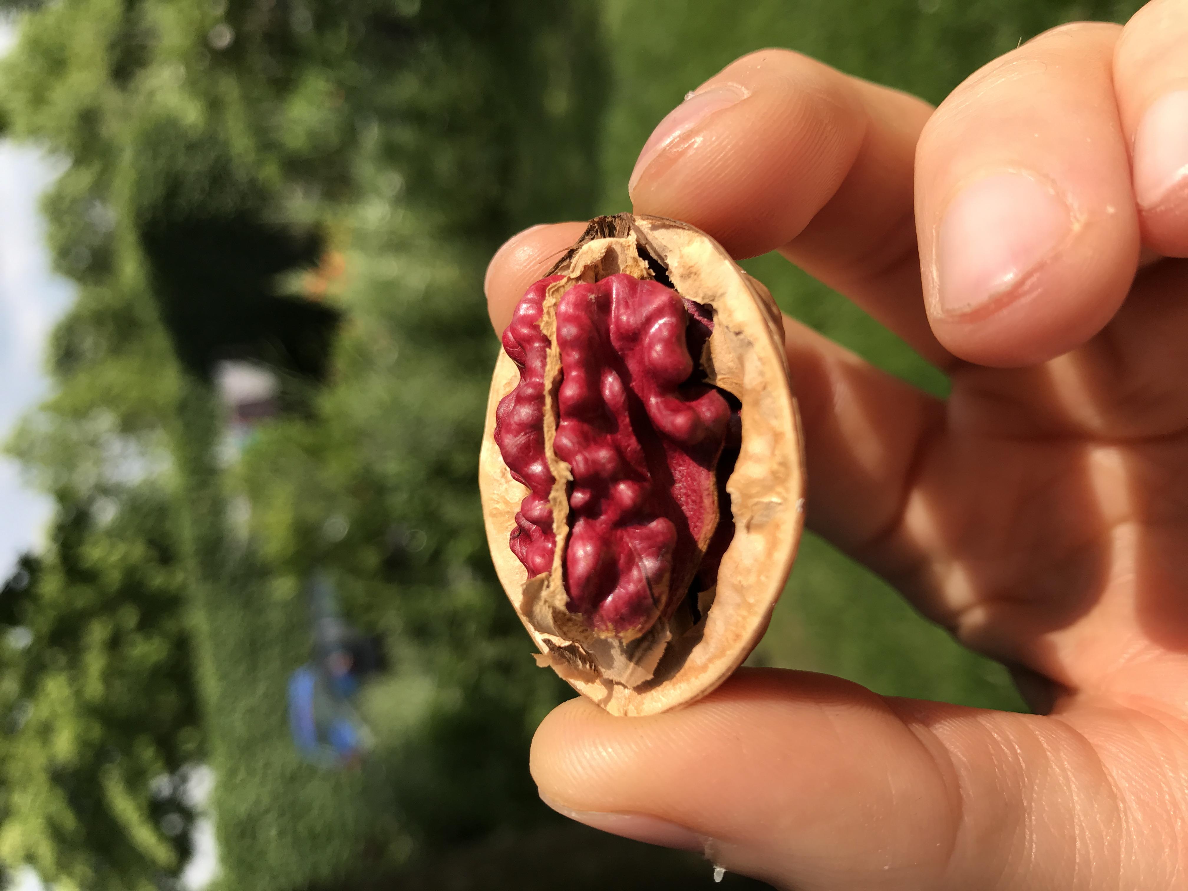 Walnussbaum Rote Donaunuss