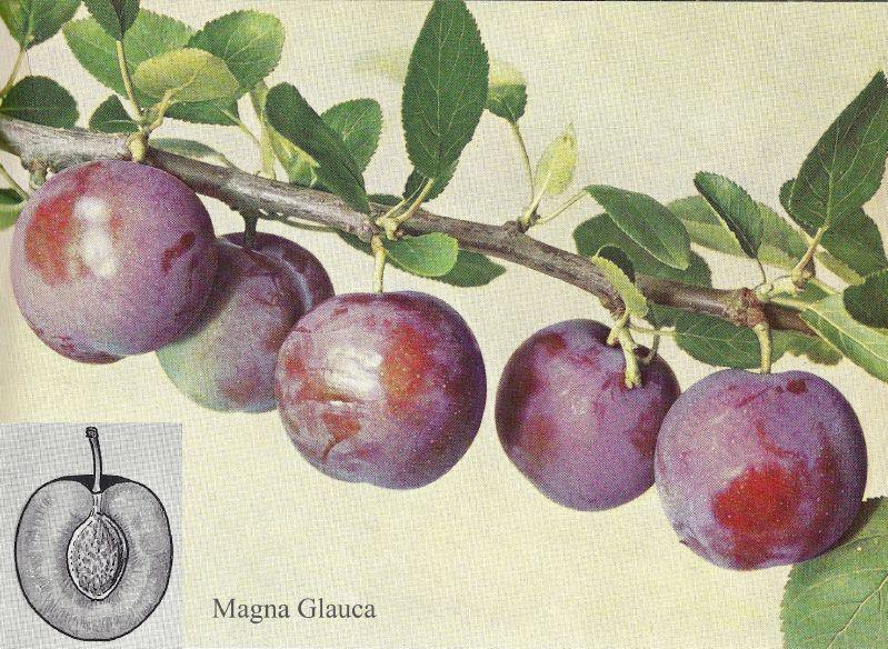 Pflaume Magna Glauca
