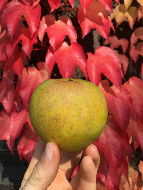 Apfelbaum Zuccalmaglios Renette