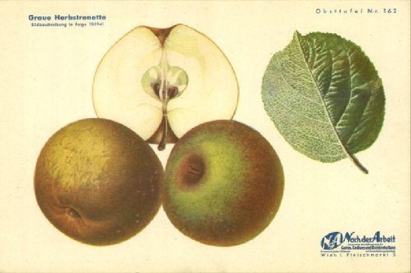 Apfelbaum Graue Herbstrenette