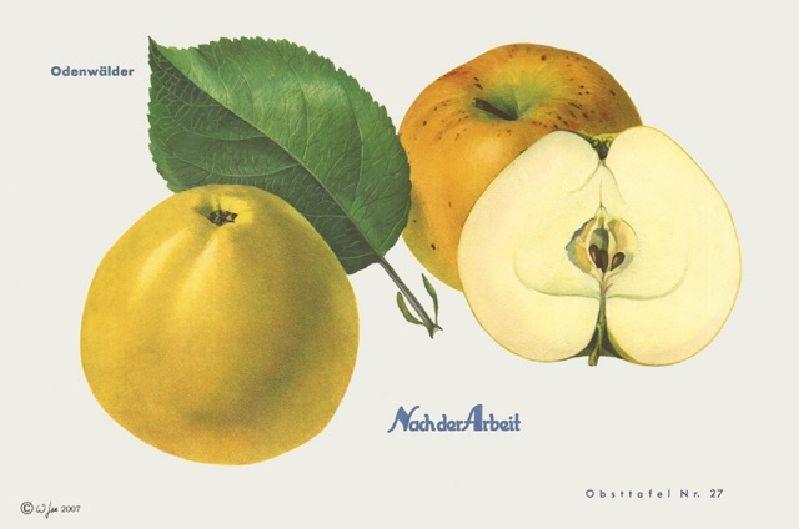 Apfelbaum Odenwälder
