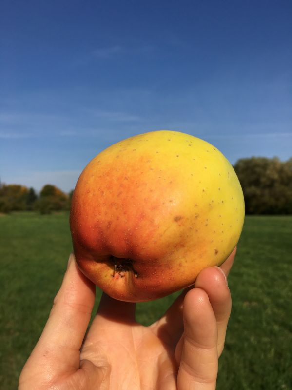 Apfelbaum Gelber Bellefleur
