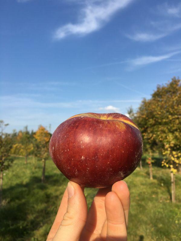 Apfelbaum Winterrambur