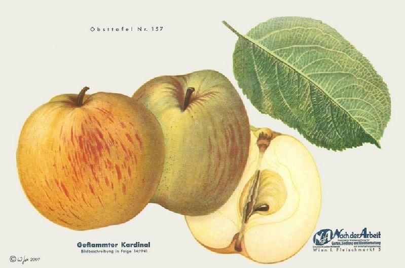 Apfelbaum Geflammter Kardinal