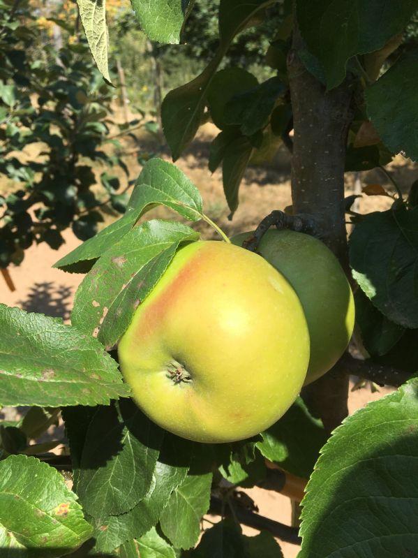 Apfelbaum Jakob Lebel