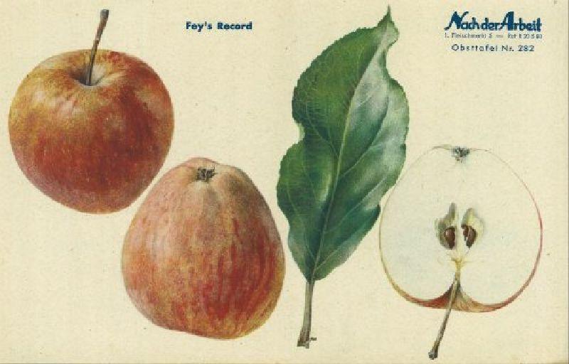 Apfelbaum Fey's Rekord